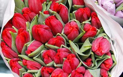 Тюльпан классический (Голландия)