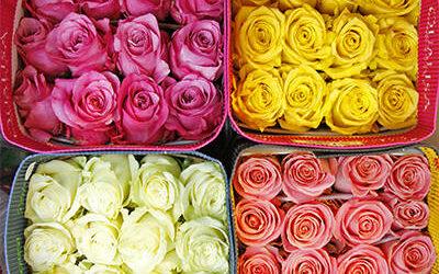 Роза 60 см (оптом) Эквадор